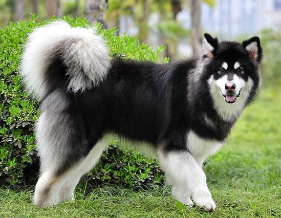 阿拉斯加雪橇犬的购买经验 - 華發網繁體版