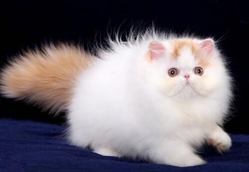 波斯貓好看卻不好養,飼養注意事項 - 華發網繁體版