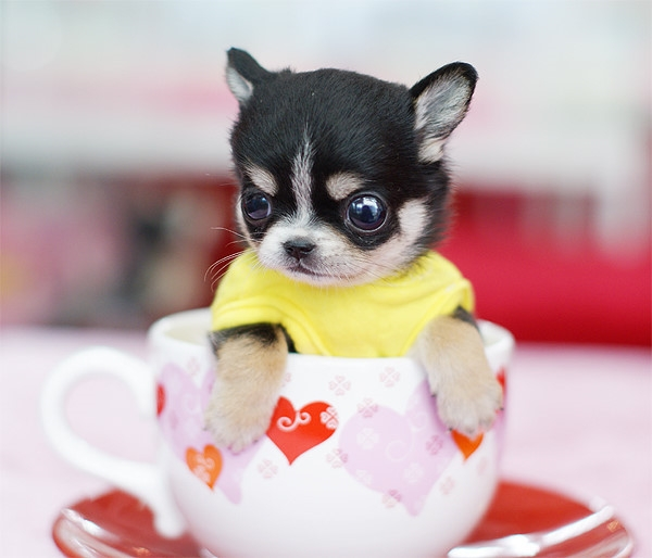 茶杯犬飼養注意事項 - 華發網繁體版