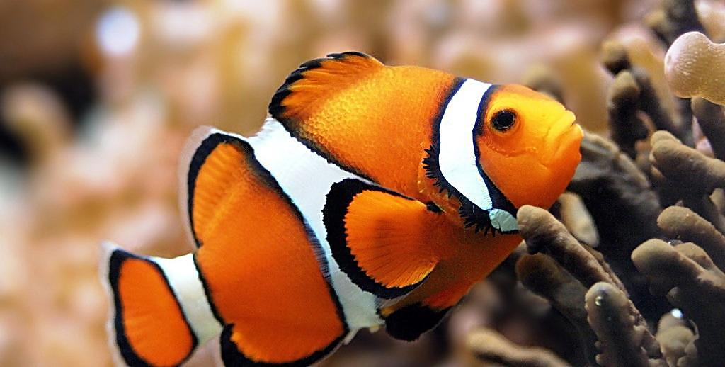 新手如何飼養小丑魚-華發網繁體版