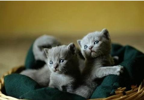 俄羅斯藍貓選購飼養注意事項-華發網繁體版