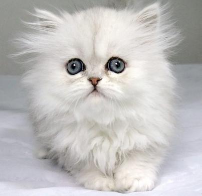 金吉拉貓飼養注意事項 - 華發網繁體版